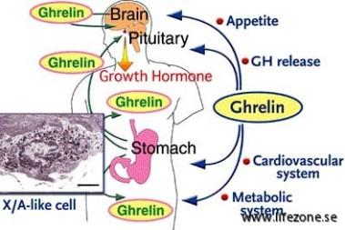 Vikt, hunger, hormoner & ghrelin