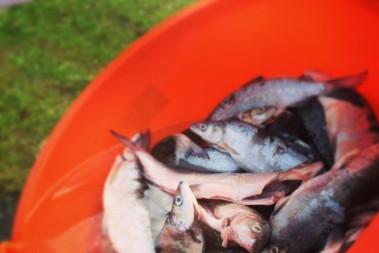 Fet fisk funkar fint