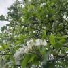 Päronträdet ska bort