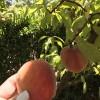 Färsk pärsika