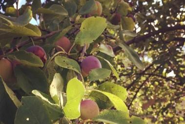 Frågan om frukt