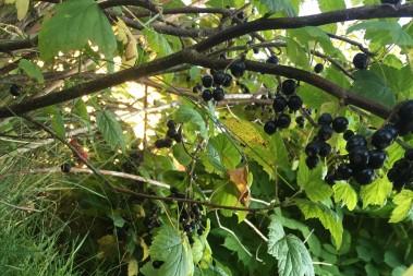 Kesosmoothie på svarta vinbär
